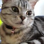 【猫アメリカンショートヘア画像】当ブログ登場アメショー ひな(陽菜)