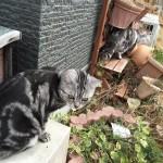 【アメショ 昼寝 日記】猫のお散歩!猫って散歩必要?