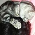 【アメショ 昼寝 日記】猫、謎の行動!ひなちゃん、おやじを食べる!