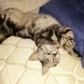 【アメショ 昼寝 日記】猫の寝起き!猫の睡眠時間って?