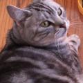 【アメショ 昼寝 日記】猫ってトミカに興味ないのか、再度確認してみた!
