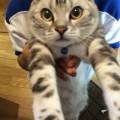 【猫アメリカンショートヘア画像】当ブログ登場アメショー りん(凛)